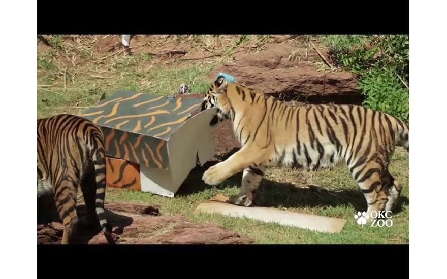 ZOO ANNOUNCES WORLD TIGER DAY