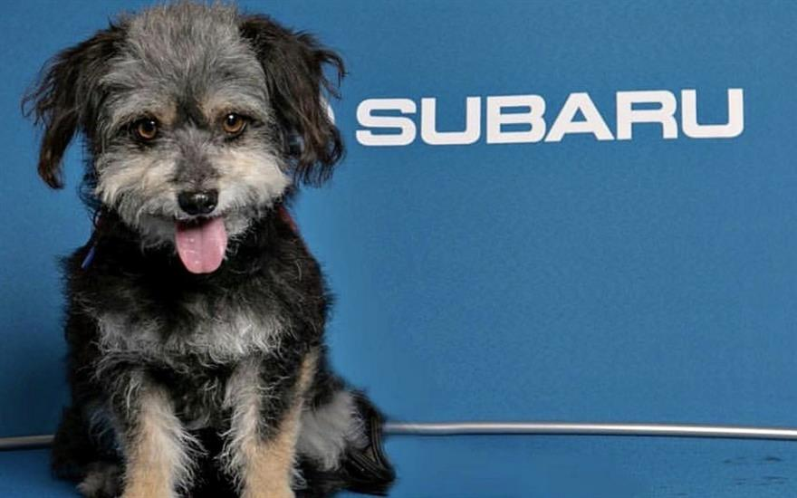 Subaru Pacific Share the Love Adoption Event 2018