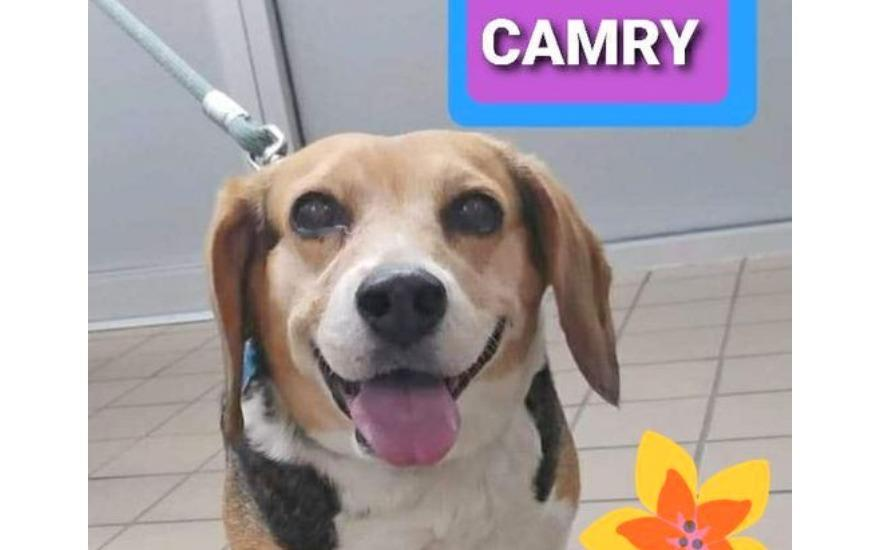 CAMRY the BEAGLE: Once a Las